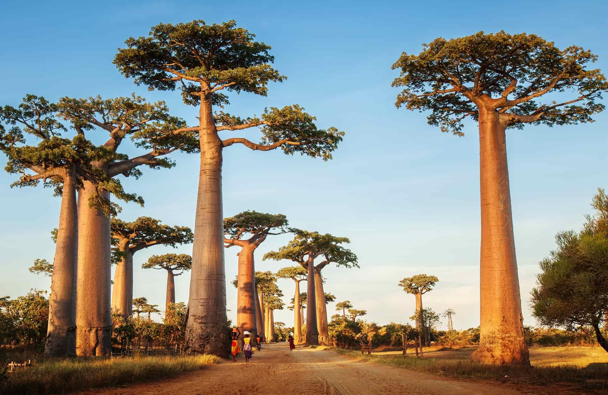 Voyage Madagascar - L'Allée des Baobabs - Amplitudes
