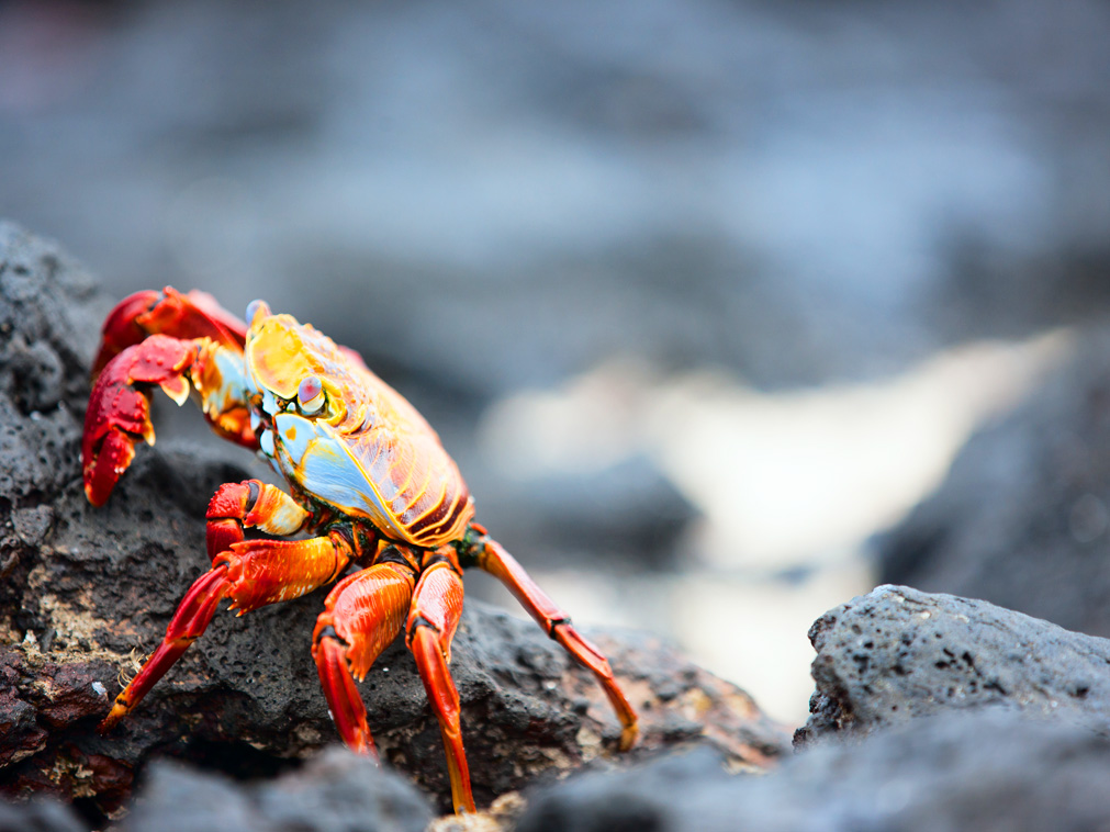 croisiere_equateur_voyage_galapagos_crabe
