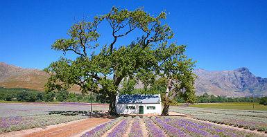 Afrique du Sud - Champs de lavande près des vignes de Stellenbosh