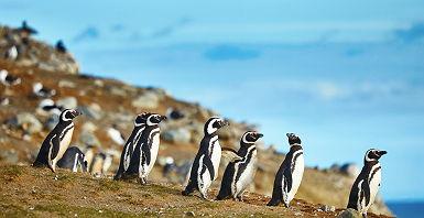 Pingouins de Magellan sur l'Ile Magdalena - Chili