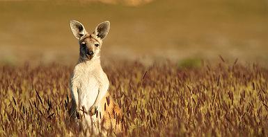 Australie - Portrait d'un kangourou sur la Kangaroo Island