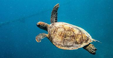 Australie - Portrait d'une tortue dans la grande barrière de corail, Queensland