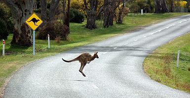 kangourou_en_australie