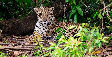 Brésil - Portrait d'un léopard dans la Pantanal