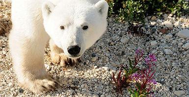 accroche-quete-de-ours-blanc