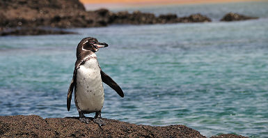 Galapagos - Portrait d'un pingouin sur un rocher