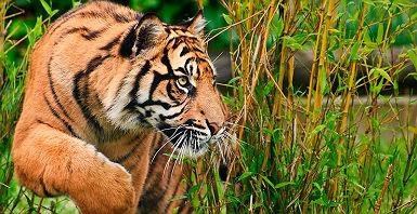 accroche-tigres-du-madhya-pradesh