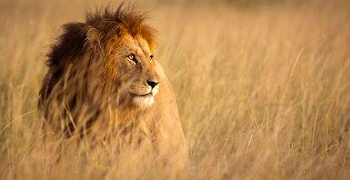 Afrique - Portrait d'un lion dans la savane au parc national de Serengeti