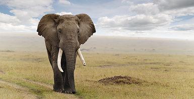 Elephant à la Réserve nationale du Masai Mara, Kenya