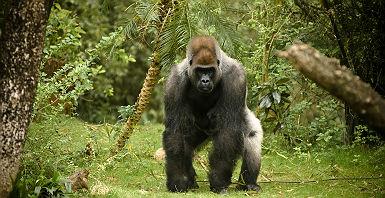 Afrique - Portrait d'un gorille dos argenté dans la jungle du Rwanda