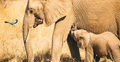 Afrique du Sud - Portrait d'un éléphant et son bébé au parc national de Ruaha