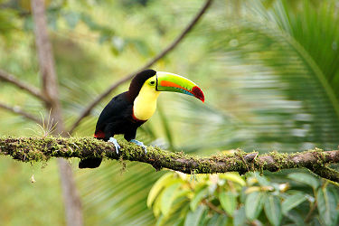 /images/naga/Toucan - Costa Rica