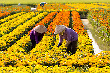 /images/naga/VietNamese woman with conical hat is harvesting flower, in SaDec